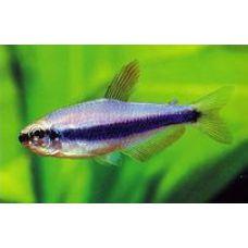 Рыбка Керри