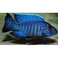 Рыбка Королева ньясса