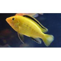 Рыбка Лабидохромис Еллоу