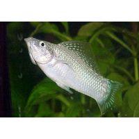 Рыбка Моллинезия снежинка