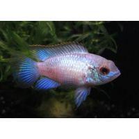 Рыбка Наннакара неоновая голубая