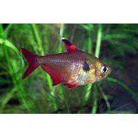 Рыбка Орантус высокоплавниковый