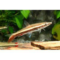 Рыбка Пецилобрикон