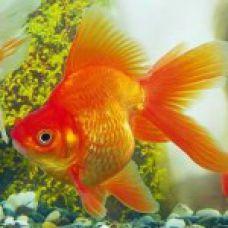 Рыбка Риукин (Импорт)