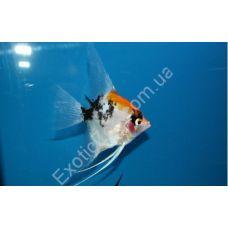 Рыбка Скалярия Кои