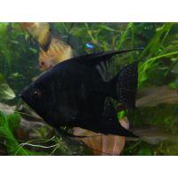 Рыбка Скалярия черная
