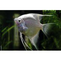 Рыбка Скалярия платиновая
