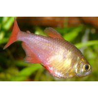 Рыбка Тетра фон-рио