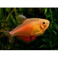Рыбка Тетра фон-рио оранж