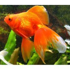 Рыбка Золотая Вуалехвост