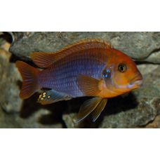 Рыбка Йодотрофеус