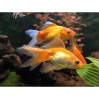 Рыбка Золотая Кои