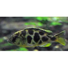 Рыбка Леопард золотой