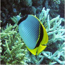Рыба – бабочка