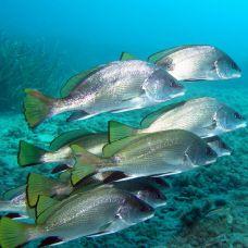 Рыба – барабанщик