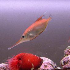 Рыба – бекас