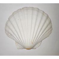 Раковина для аквариума Гребешок морской 11см