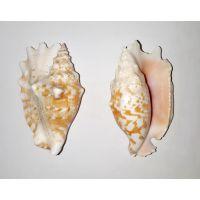 Раковина для аквариума Волнистый стромбус 9см