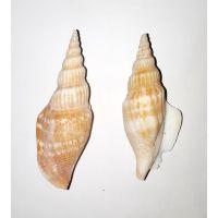 Раковина для аквариума Стромбус листера 6см