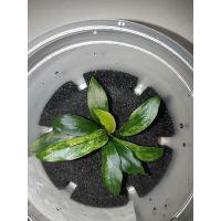 Растение Анубиас Глабра (Glabra)