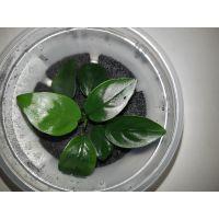 Растение Анубиас Нана (Nana)