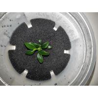 Растение Анубиас Панголино (Pangolino)