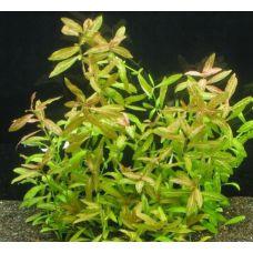 Растение Ротала круглолистная или индийская