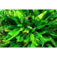 Растение Папоротник таиландский