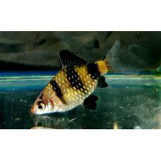 Рыбка Барбус черный