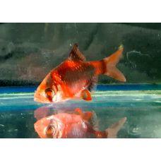 Рыбка Барбус мутант красный