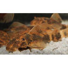 Рыбка Анцитрус коричневый LDA16 (сом) Киев
