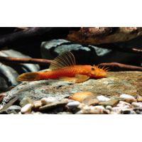 Рыбка Анцитрус красный (сом)
