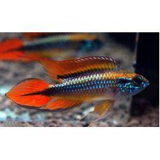 Рыбка Апистограмма Агассица