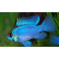 Рыбка Апистограмма рамирези электрик блю
