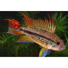 Рыбка Апистограмма какаду (Самец)