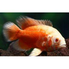 Рыбка Астранотус альбинос