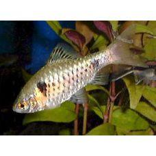 Рыбка Барбус алый Киев