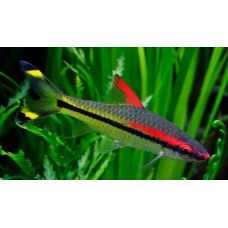 Рыбка Барбус денисони крупный