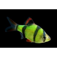 Рыбка Барбус суматранский зеленый Glo Fish