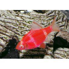 Рыбка Барбус кольти красный GLO Киев