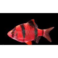 Рыбка Барбус суматранский красный Glo Fish