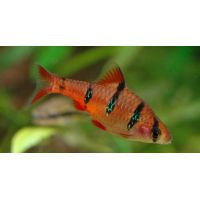 Рыбка Барбус пятиполосый