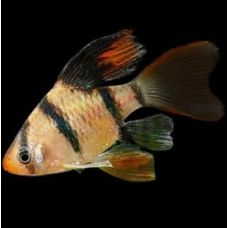 Рыбка Барбус суматранский вуалевый Киев