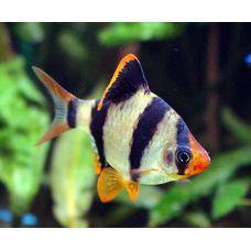 Рыбка Барбус суматранский
