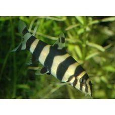 Рыбка Боция клоун (гибрид)