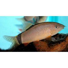 Рыбка Боция Морлети