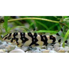 Рыбка Боция мраморная