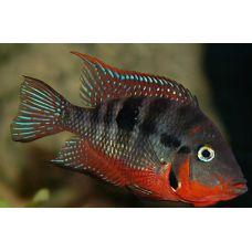 Рыбка Цихлазома мееки