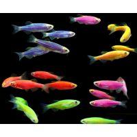 Рыбка Данио ассорти Glo Fish