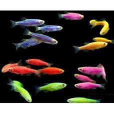 Рыбка Данио ассорти Glo Fish СВЕТЯЩИЕСЯ